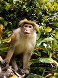 Asiatischer Affe auf dem Baum Stockfoto