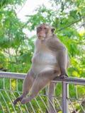 Asiatischer Affe der großen Mutter sitzen auf der Bahnbrücke Lizenzfreie Stockfotografie