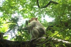 Asiatischer Affe im indischen Wald Lizenzfreies Stockbild