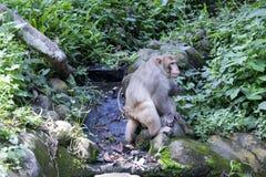 Asiatischer Affe im Wald Stockbild