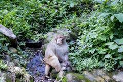 Asiatischer Affe im Wald Lizenzfreies Stockbild