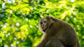 Asiatischer Affe im Wald Lizenzfreies Stockfoto
