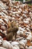 Asiatischer Affe und Kokosnuss Lizenzfreie Stockfotos