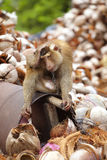 Asiatischer Affe und viel Kokosnuss Lizenzfreies Stockfoto