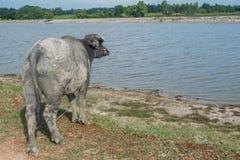 Asiatischer Büffel in ländlichem Thailand Asiatischer Wasserbüffel im See bei Thailand Lizenzfreies Stockbild