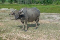 Asiatischer Büffel in ländlichem Thailand Asiatischer Wasserbüffel im See bei Thailand Stockfoto