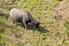 Asiatischer Büffel lässt auf terassenförmig angelegten Bergen weiden Lizenzfreie Stockfotografie