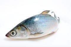 Asiatischer Barsch der Fische See Lizenzfreie Stockfotografie