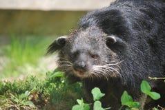 Asiatischer Bearcat auf dem Prowl stockbilder