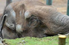 Asiatischer Elefant 2 Stockbild