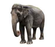 Asiatischer Elefant Stockfoto