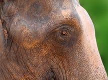 Asiatischer Elefant Lizenzfreies Stockfoto
