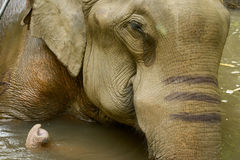 Asiatischer Elefant Lizenzfreie Stockfotos