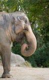 Asiatischer Elefant Stockbild