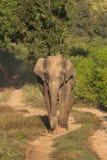 Asiatischer Elefant, Corbett Tiger Reserve, Uttarakhand, Indien lizenzfreie stockfotografie
