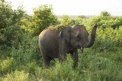 Asiatischer Elefant, der an den neuen Freunden wellenartig bewegt Stockfotos