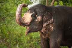 Asiatischer Elefant, der Wasser spielt. Stockfotografie
