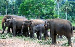 Asiatischer Elefant in Elefant Waisenhaus von Sri Lanka Lizenzfreie Stockfotos