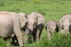 Asiatischer Elefant ist großes Tier fünf in Asien stockbilder