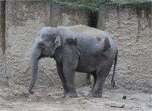 Asiatischer Elefant potrait Stockbilder