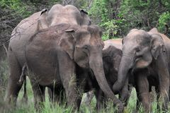 Asiatischer Elefant in Sri Lanka lizenzfreies stockbild