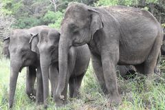 Asiatischer Elefant in Sri Lanka lizenzfreies stockfoto