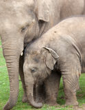 Asiatischer Elefant und Kalb stockfotos