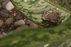 Asiatischer gemalter Frosch Stockfotografie