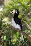 Asiatischer Gescheckt-Hornbill, Anthracoceros-albirostris lizenzfreies stockbild