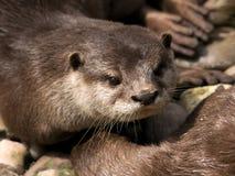 Asiatischer Klein-Gekratzter Otter stockbild