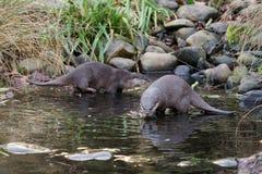 Asiatischer klein-gekratzter Otter lizenzfreie stockbilder
