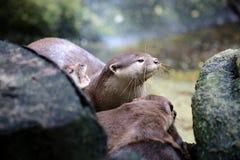 Asiatischer kleiner gekratzter Otter Stockbild