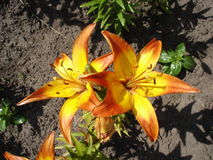 Asiatischer Kreuzunglilium 'Cancun' orange und gelbe Blumen Stockfotos