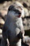 Asiatischer kurzer gekratzter Otter Lizenzfreies Stockbild