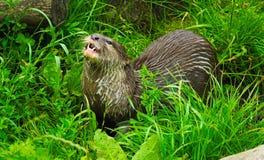 Asiatischer kurzer gekratzter Otter Stockfotografie