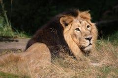 Asiatischer Löwe Stockfoto