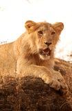Asiatischer Löwe Stockfotografie