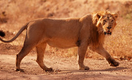 Asiatischer Löwe Lizenzfreie Stockfotografie
