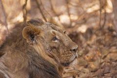 Asiatischer Löwemann verletzt im teritorial Kampf Stockbilder