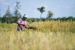 Asiatischer Landwirt, der Reis erntet Lizenzfreies Stockbild