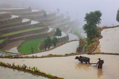 Asiatischer Landwirt, der an terassenförmig angelegtem Reisfeld arbeitet Lizenzfreies Stockbild