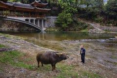 Asiatischer Landwirt unterrichtet Stier durch Mächte, über Brücke lizenzfreies stockfoto