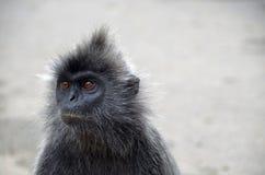 Asiatischer Makakenaffe, der schaut, um Raum zu leeren Lizenzfreies Stockfoto