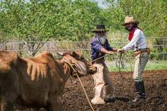 Asiatischer Mann-Cowboy f?ngt das in einer Ranch eingebrannt zu werden Kalb, stockfotografie