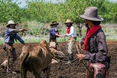 Asiatischer Mann-Cowboy f?ngt das in einer Ranch eingebrannt zu werden Kalb, stockfotos