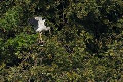 Asiatischer Openbill Storch-Vogel Lizenzfreie Stockbilder