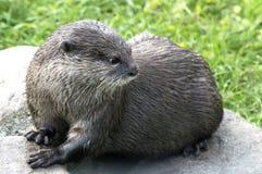 Asiatischer Otter Lizenzfreies Stockbild