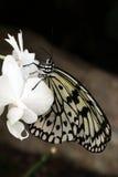 Asiatischer Papierdrachen-Schmetterling Stockfoto