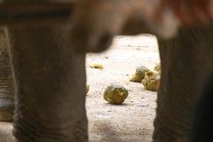Asiatischer scheißender Elefant Stockfotos