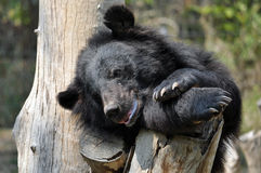 Asiatischer schwarzer Bär Stockfoto